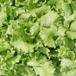 Stock Photo: Lettuce background
