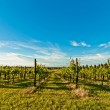 Vineyard in Reggio Emilia, italy — Stock Photo