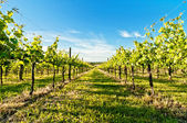 Vineyard in Reggio Emilia, italy — Stock Photo