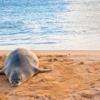 Hawaiian Monk Seal rests on Poipu beach in Kauai, Hawaii — Stock Photo #40274583