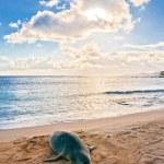 Hawaiian Monk Seal rests on Poipu beach in Kauai, Hawaii — Stock Photo #40274723