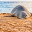 Hawaiian Monk Seal rests on Poipu beach in Kauai, Hawaii — Stock Photo #40274847