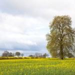 Yellow Canola oilseed flower Field — Stock Photo