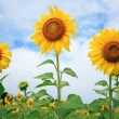 Stock Photo: Beautiful sunflowers in the field with bright blue sky