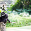 White hand Gibbon — Stock Photo