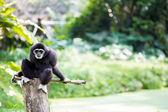 White hand Gibbon — Stock Photo