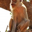 Monkey on tree — Stock Photo #12471462