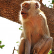 Monkey on tree — Stock Photo #12471628
