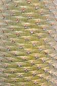 A cactus texture — Stock Photo