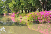 Bougainvillea hybrida or paper flower plant and reflected — Foto Stock