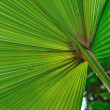 Green palm tree leaf as a background — 图库照片