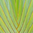 Leaf bases on Traveler's Palm (Ravenalmadagascariensis) — Stock Photo #12602607