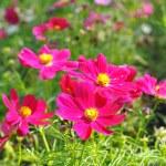 Rose de nombreuses petites fleurs, ressemblent à des étoiles — Photo