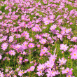 Pink of many small flower, look like stars — Stock Photo