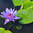 Purple water lily with bee — Stock Photo
