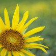 Stock Photo: Sunflower on green background