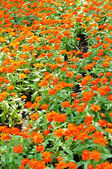 Sedmikráska květ, zlatý chryzantémy — Stock fotografie