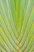 Leaf bases on a Traveler's Palm (Ravenala madagascariensis) — Stock Photo