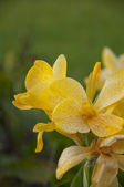 Yellow canna generalis for background — Stock Photo