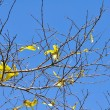 Autumn leaves on blue sky background — Stock Photo