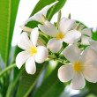 Branch of tropical flowers frangipani (plumeria) — Stock Photo #17668849