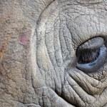 detalhe de um rinoceronte de um chifre grande olho — Fotografia Stock  #22259887