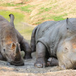 Black Rhinoceros — Stock Photo #22259975