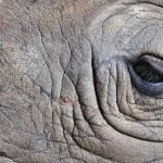 detalhe de um rinoceronte de um chifre grande olho — Fotografia Stock  #22356075