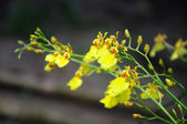 Yellow orchid — Стоковое фото