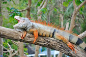 Closeup of Iguana — Stock Photo