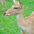 Stock Photo: Deer (brow-antlered)