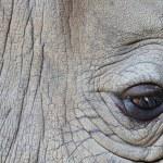 detalhe de um rinoceronte de um chifre grande olho — Fotografia Stock  #22490809