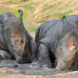 Black Rhinoceros — Stock Photo #22490825