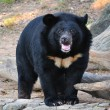 Stock Photo: Asiatic black bear