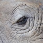 detalhe de um rinoceronte de um chifre grande olho — Fotografia Stock  #22557861