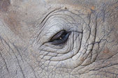 Detail of a eye great one-horned rhinoceros — Stock Photo