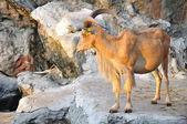 Cabra de oeste tur caucasiano — Fotografia Stock