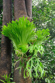 Staghorn ferns — Stock Photo