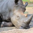 Black Rhinoceros — Stock Photo #22725123