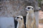 Suricate or meerkat standing in alert position — Stock fotografie