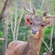 Wild deer in alert — Stockfoto