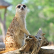 Stock Photo: Suricate or meerkat standing in alert position