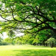Stock Photo: Big tree's branches with fresh leaves on green meadow in sunny d