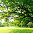 Big tree's branches with fresh leaves on green meadow in sunny d — Stock Photo