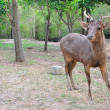 Wild deer in alert — Stock Photo
