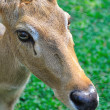 Deer (brow-antlered) - Stock Photo