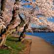 Cherry blossom at washington DC — Stock Photo