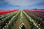 Color tulip farm — Stock Photo