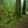 Moss on root tree — Stock Photo