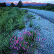 Wildflower on roadside — Stock Photo